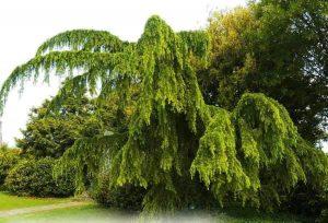 Pendula-csüngő-himalájai-cédrus