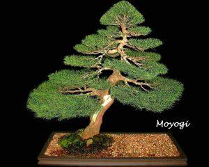 Klasszikus bonsaiok