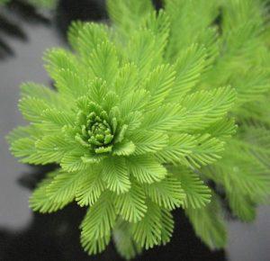 Myriophyllum brasiliense - brazil süllőhínár