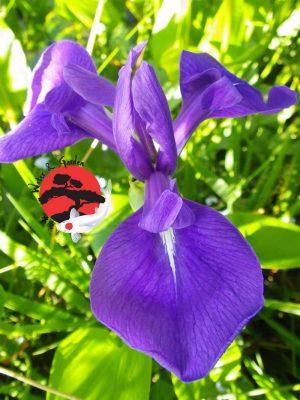 Iris Laevigata 'Blue' - japán kék írisz
