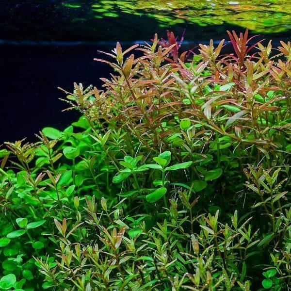 Rotala rotundifolia - kereklevelű rotala