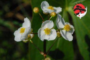 Sagittaria latifolia - nagylevelű nyílfű