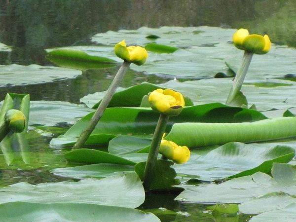Nuphar lutea - sárga vízitök