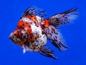 Calico osztott farkú aranyhal