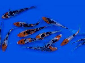 """Japán Koi Farmok Halai Ebben a kategóriában neves Japán tenyésztők, Koi Farmok halai találhatóak. Japánból importált Koi pontyaink tosai (0-12 hónap), Nisai (12-24 hónap), Sansai (24-36 hónap) életkorúak, kézzel válogatott (Handpick) kiváló minőségű Koik. Tökéletes testforma és erőteljes szín jellemzi őket. Tenyésztőink: Sakuzame, Yamasan, Hiroi, Ikarashi, Marusaka, Marusei, Isa Koi Farmok. Kínálatunkban minden Koi fajtát megtalál: Tancho, Kohaku, Doitsu Kohaku, Ginrin Kohaku, Showa, Doitsu Showa, Ginrin Showa, Sanke, Doitsu Sanke, Ginrin Sanke, Goromo, Kikusui, Yamatonishiki, Kujaku, Ochiba, Doitsu Ochiba, Doitsu Kogane Ochiba, Ginrin Ochiba, Beni Kikukuryu, Kikukuryu, Goshiki, Ki Utsuri, Kin Ki Utsuri, Hi Utsuri, Shiro Utsuri, Doitsu Utsuri, Asagi, Ginrin Asagi, Shusui, Kawarigoi, Platinum Ogon, Doitsu Platinum Ogon, Ginrin Platinum Ogon, Yamabuki Ogon, Orenji Ogon, Benigoi, Ginrin Benigoi, Chagoi, Ginrin Chagoi. A koik színeinek a jelentése Japánul a """"koi"""" ugyanúgy hangzik, mint a """"szerelem"""" vagy a """"szeretet"""" szó, tehát a szeretet szimbóluma. A Koi szimbolizálja még a tiszteletet, az erőt, a szerelmet, a bátorságot, a szerencsét és az elkötelezettséget a Kínai és a Japán kultúrában, illetve a feng-shuiban. Minden Koi színnek pozitív jelentése van a feng-shuiban. Viszont minden színnek más és más a jelentése,szimbolikája. A fekete Koi A fekete Koi a férfiasság jelképe, az apaságot, az erőt és a kitartást jelképezi. A piros Koi A piros Koi a nőiességet, az anyaságot és a gondoskodást jelképezi. A kék Koi A kék Koi jelképezi a békét és a nyugalmat. A vízben úszó kék hal nyugalmat áraszt, és a gyermekkorra utal. Az arany Koi Az arany Koi szimbolizálja a jólétet, a gazdagságot. Ha jólétet szeretnél magadnak, mindenképp legyen pár arany színű koi a tavadban. Szépségük, egészségük megtartása véget etesd őket Japán KOI haltáppal!"""