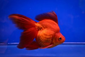 Kerti tavi és akváriumi osztott farkú aranyhalak