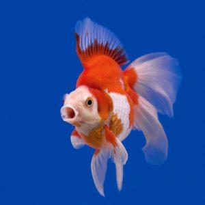 Ryukin piros/fehér osztott farkú aranyhal