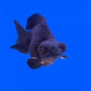 Black moor fekete teleszkópszemű osztott farkú aranyhal