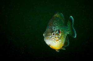 Egyéb kerti tavi halak